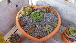 Sempervivums4