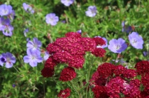 Achillea pomegranite