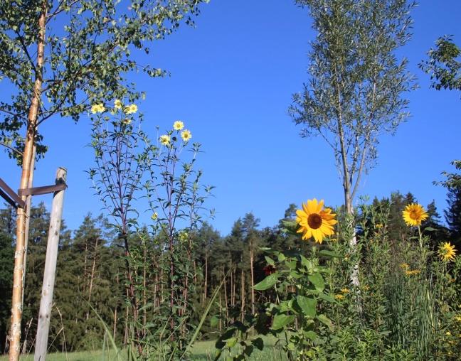 Helianthus Sheila's Sunshine