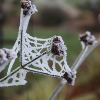 Cobweb on Verbena