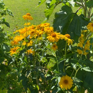 Heliopsis 'Sommersonne'