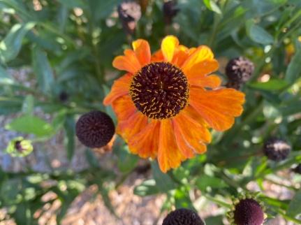 Helenium Sahir's Early Flowerer