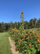 Giant Sunflower!