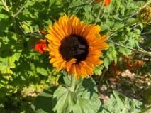 Sunflower Soraya?
